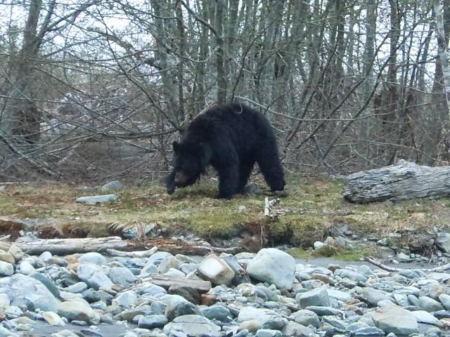 Enchanted Valley Bear #1
