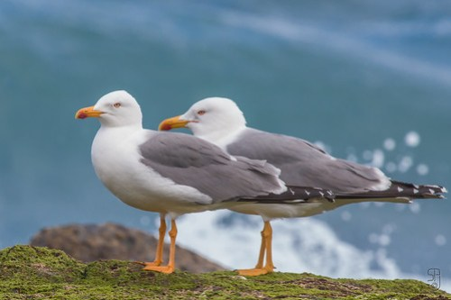 Yellow-legged Gull (Larus michahellis)-9965.jpg