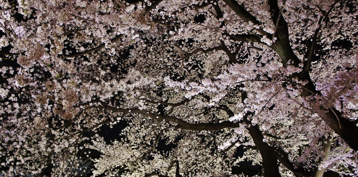 Chidorigafuchi Blossoms illumination