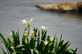 Lansford Canal Spider Lilies-44