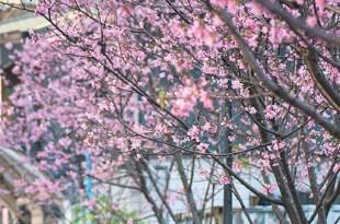 """【台北】。二訪""""滿開""""粉色吉野櫻『土城。希望之河』* 搭台北捷運就能到達的賞櫻景點!"""
