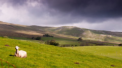 Sheep in the Dales