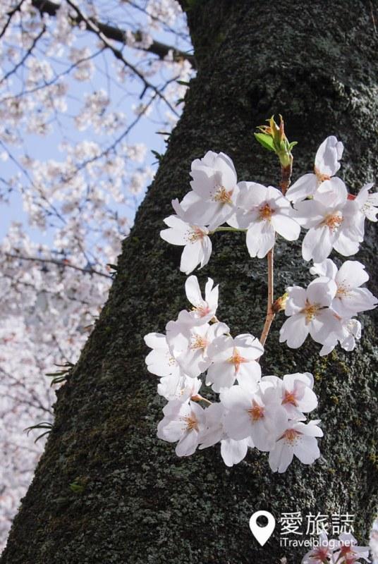 京都赏樱景点 哲学之道 24