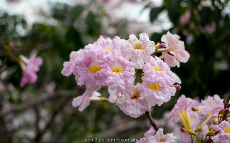Tabebuia rosea - ชมพูพันธุ์ทิพย์