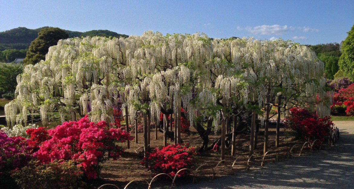 Wisteria Illumination at the Ashikaga Flower park