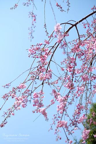 しだれ桜 中沢公園 20150330-DSCF9709
