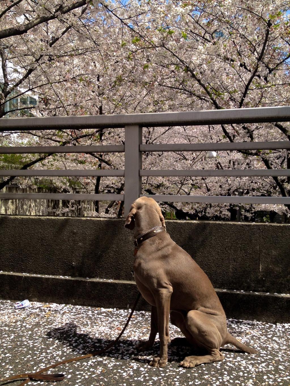 Pet Dog at Ark hills in Tokyo, watching the Sakura flowers, cherry blossom