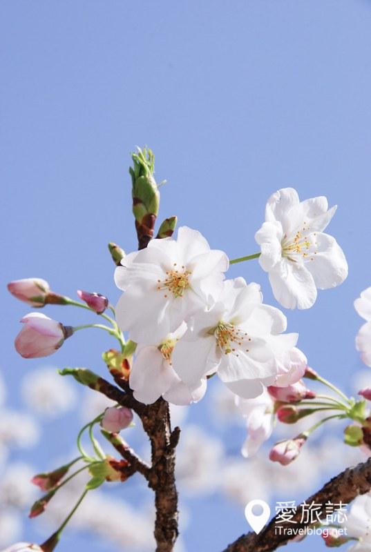 京都赏樱景点 哲学之道 27