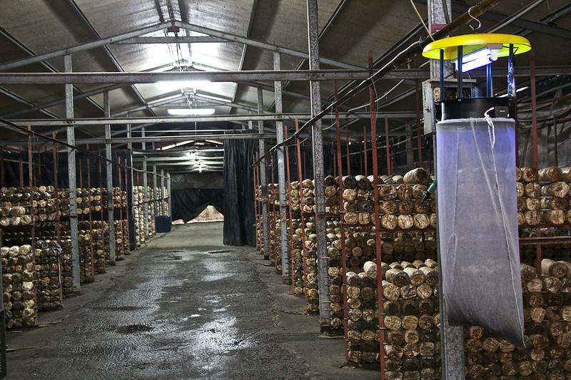 南投埔里 豐年靈芝菇類生態農場-採菇,下游且有獨立的溫控栽培產業,偶々