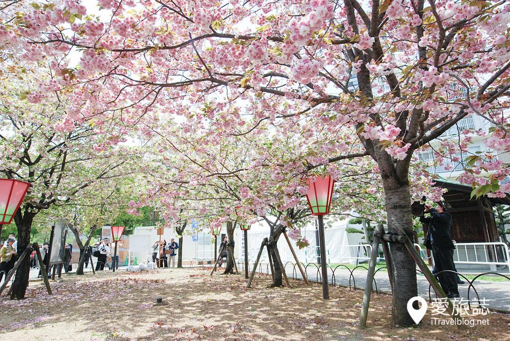 大阪造幣局 櫻花 19