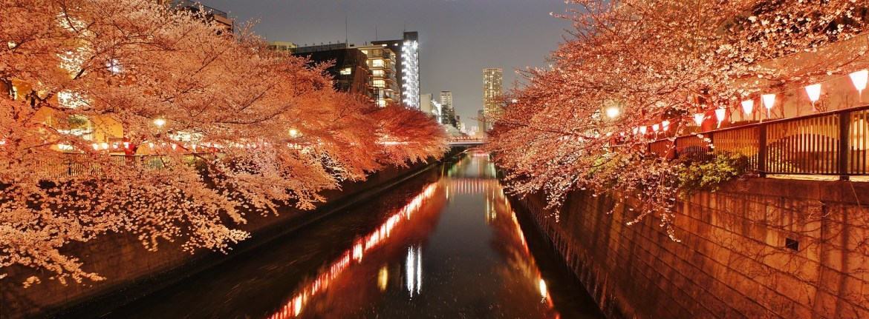 Meguro River Cherry blossom illumination