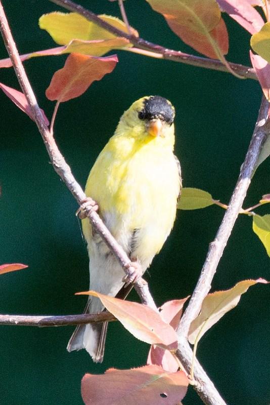 _DSC3146 American Goldfinch