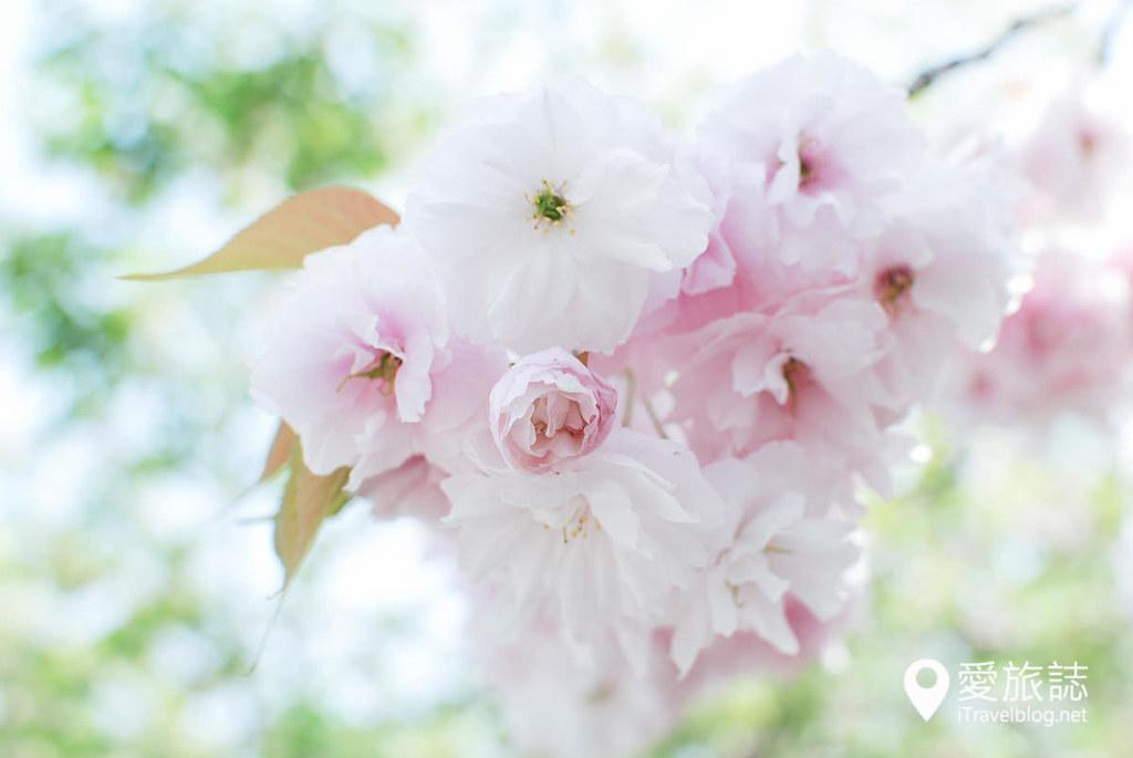 大阪造币局 樱花 43