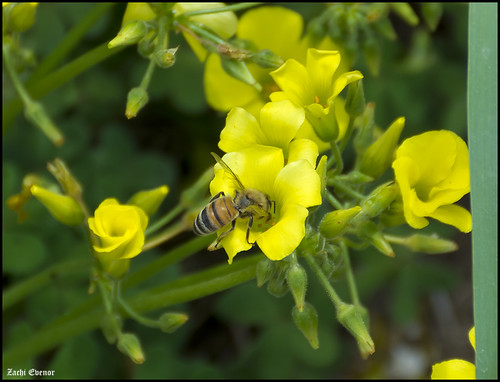 Bee on Oxalis 5853