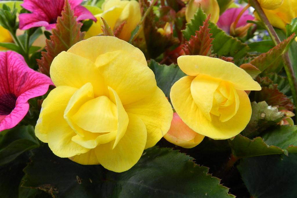Flores Belfast Ulster Irlanda del Norte 12