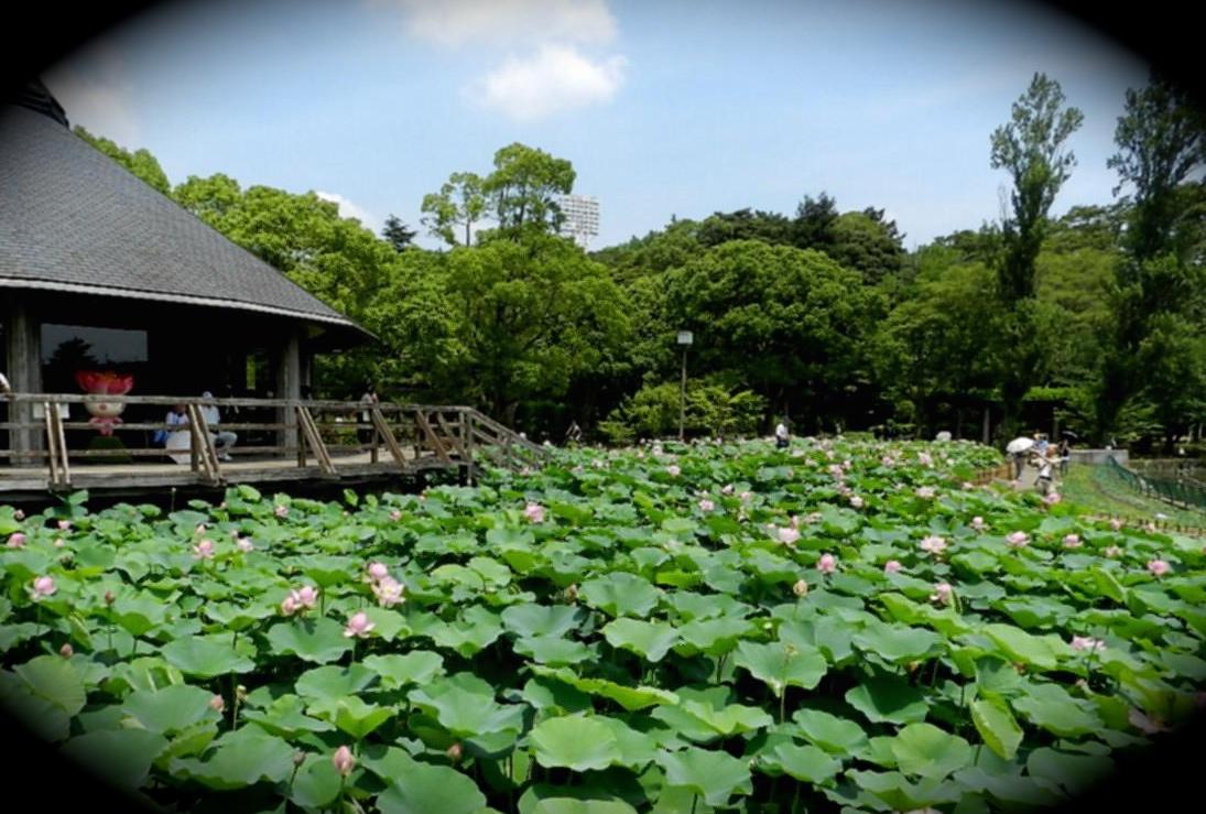 Lotus flowers in Chiba Park