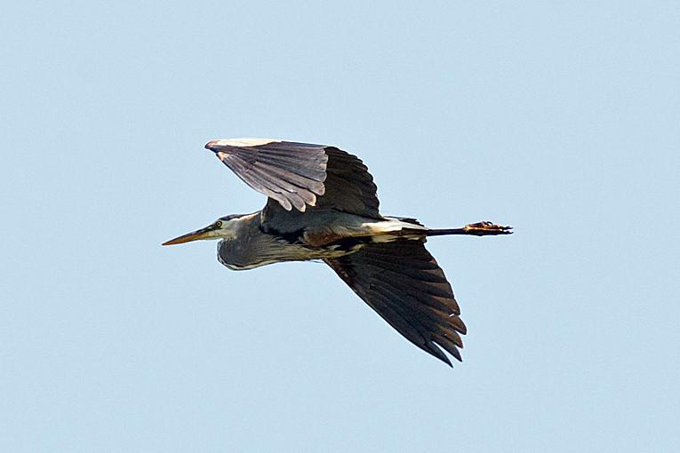 _DSC0890 Great Blue Heron