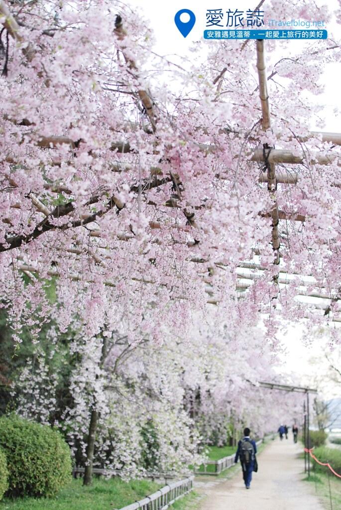 京都赏樱景点 半木之道 00