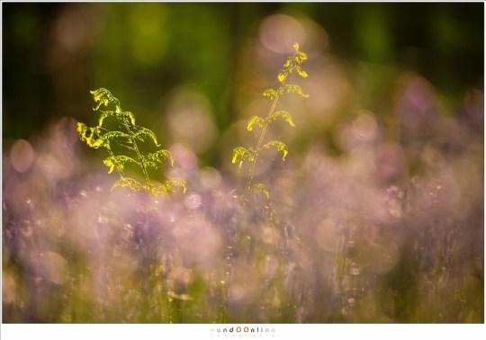 Varens steken boven de paarse bloemenzee uit