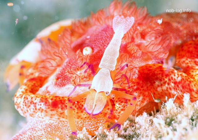 二次鰓とウミウシカクレエビ
