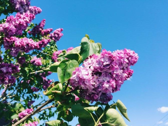 Floating lilac in bloom