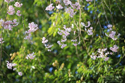 しだれ桜 20150412-IMG_0213