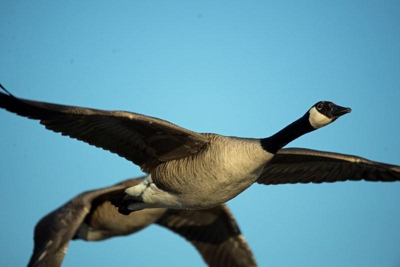 _DSC7908 Canada Goose