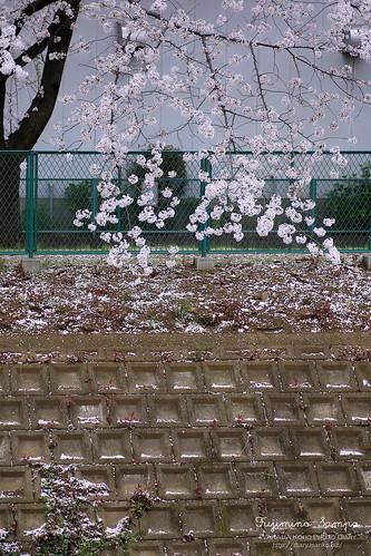 ソメイヨシノ 20150403-IMG_9450