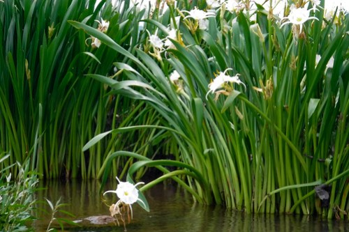 Lansford Canal Spider Lilies-63