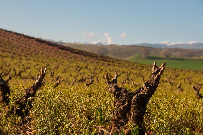 Rebstock Rioja l4l
