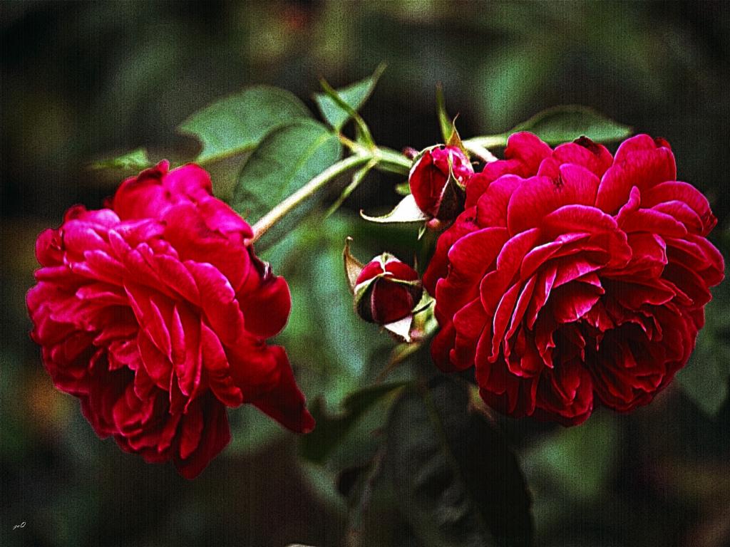 Imagen Gratis De Unas Rosas Imágenes Gratis