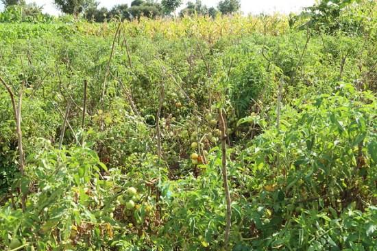 Ripe Tomatoes in the field (Photo credit: IITA/Jonathan Odhong')