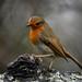 Robin posing nicely.