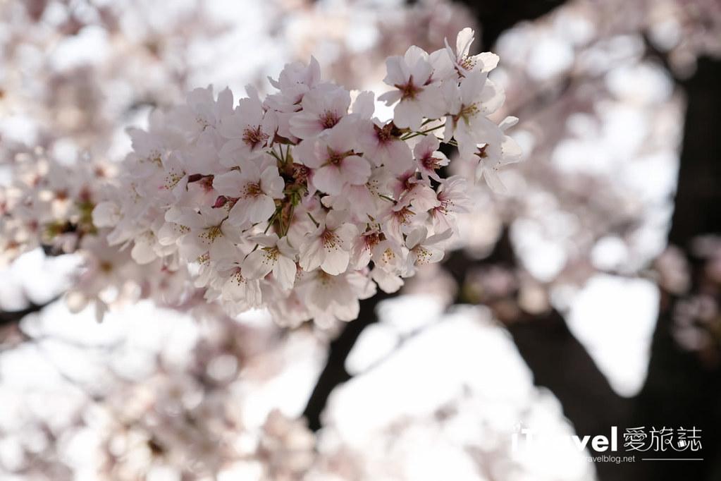 福岡賞櫻景點 福岡城 (10)