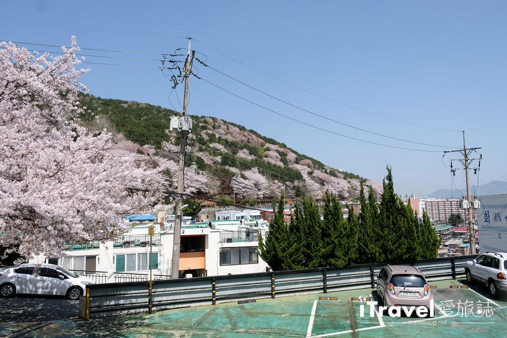 釜山賞櫻景點 東大新洞望洋路 (48)