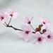 81/365 Pink Blossom