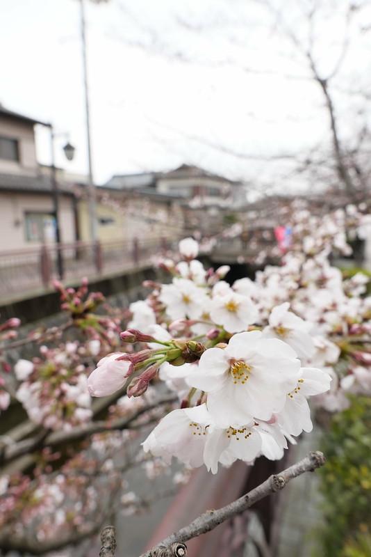 八瀬川桜まつり Yasegawa Cherry blossoms festival 04