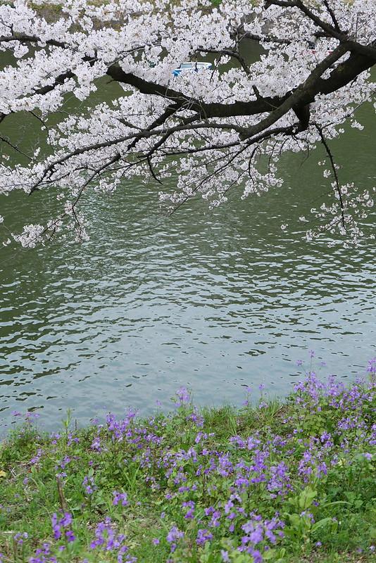 Sakura in full bloom at Chidorigafuchi, Tokyo 08