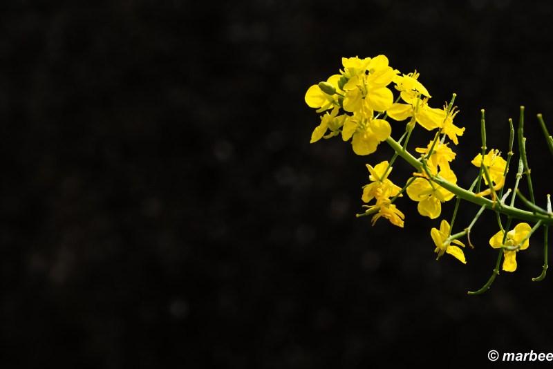 Rape blossoms bloomed