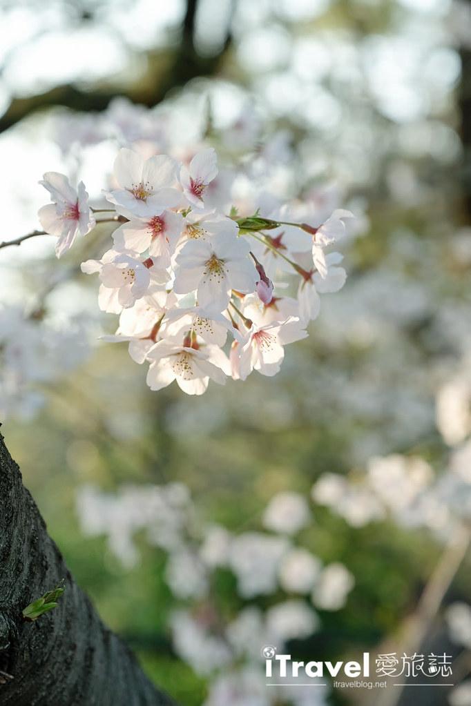 福岡賞櫻景點 西公園Nishi Park (45)