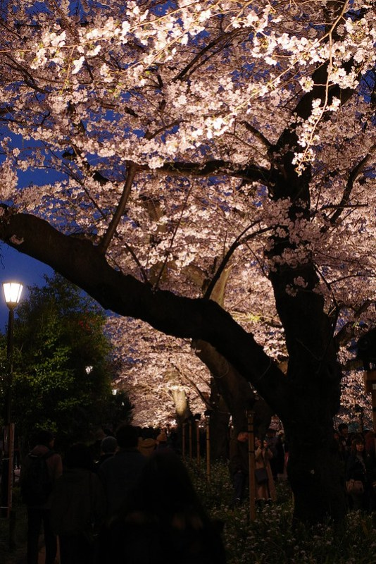 Sakura in full bloom at Chidorigafuchi, Tokyo 33
