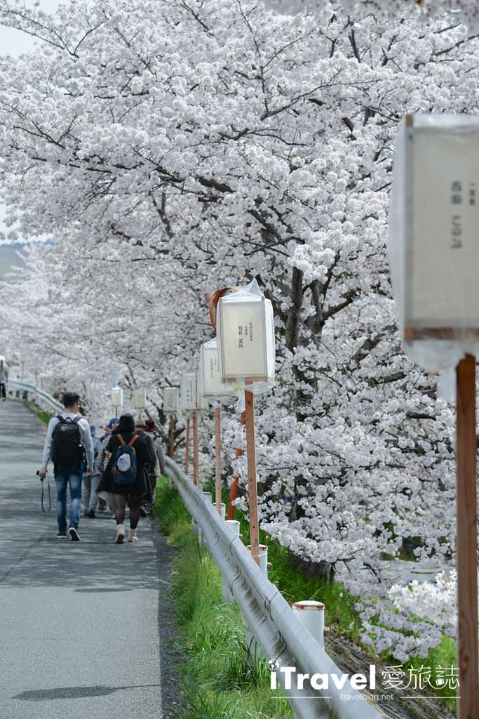 奈良賞櫻景點 奈良佐保川 (17)