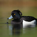 Kuifeend - (Tufted Duck)