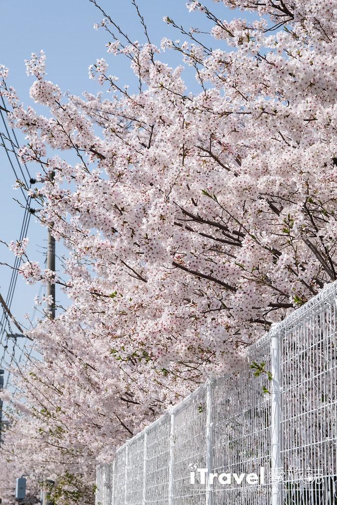 福岡賞櫻景點 美野島公園、東領公園 (4)