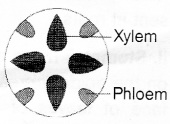 Plus One Botany Notes Chapter 4 Anatomy of Flowering Plants 14