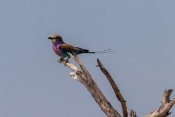 Aan de staart herken je natuurlijk meteen deze vorkstaartscharrelaar (Coracias caudatus). En in het Engels heet ie dan weer de Lilac-breasted roller.