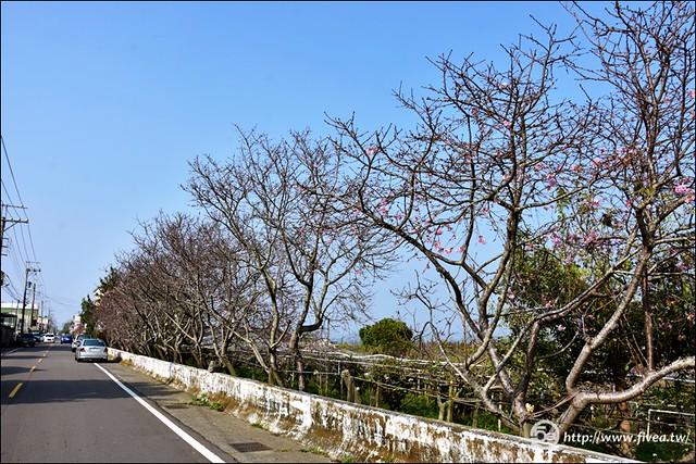 新社櫻花祕境