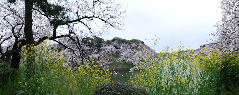 Sakura in full bloom at Chidorigafuchi, Tokyo 11