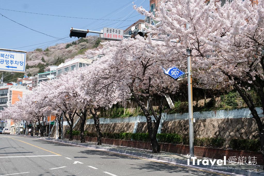 釜山賞櫻景點 東大新洞望洋路 (40)