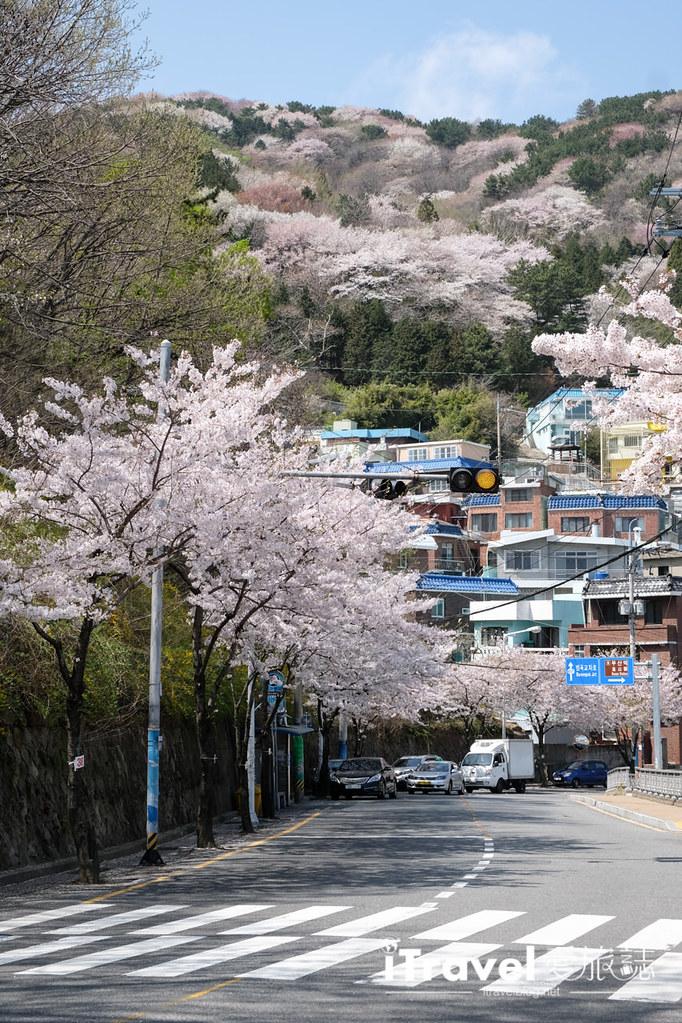 釜山賞櫻景點 東大新洞望洋路 (51)